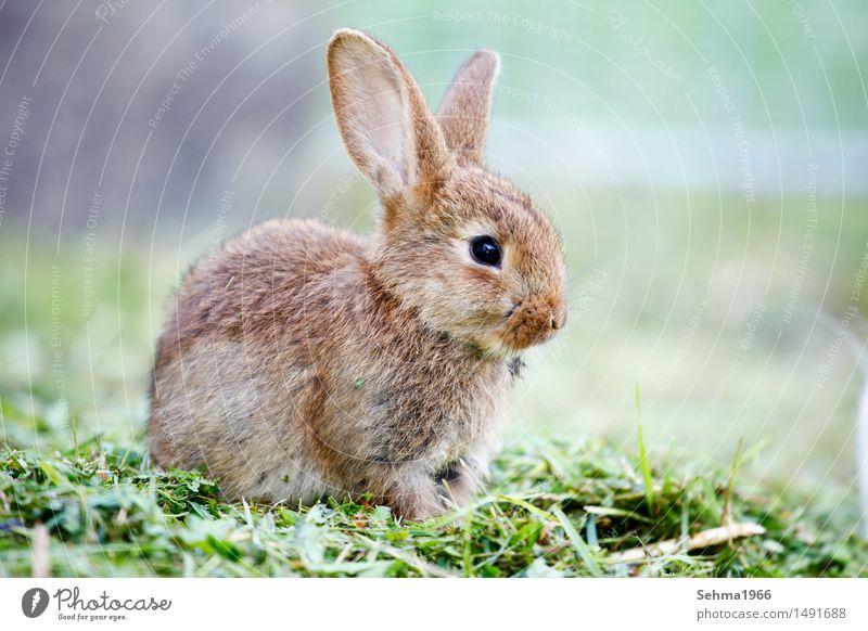 Hasen Umwelt Natur Pflanze Tier Frühling Gras Sträucher Garten Wiese Fell Haustier Hase & Kaninchen 1 Tierjunges Neugier weich Schutz Tierliebe Tele grüne Wiese