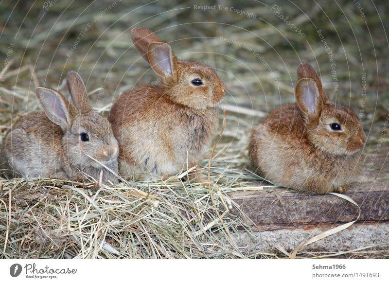 Hasen Geschwister Natur Pflanze Tier Garten Wiese Feld Fell Nutztier Tiergesicht Hase & Kaninchen 3 Tiergruppe Tierpaar Tierjunges Tierfamilie Neugier Sympathie