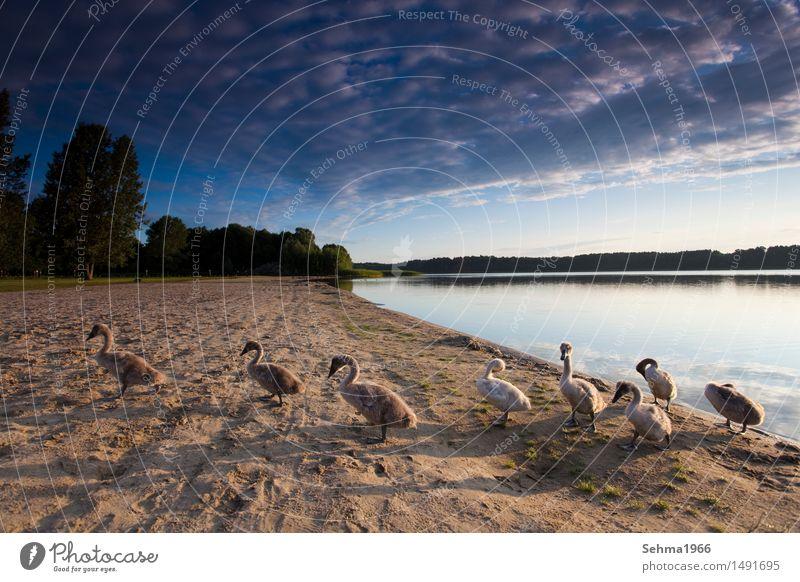 Sonnenaufgang mit Schwanenfamilie Umwelt Natur Landschaft Pflanze Tier Wasser Wolken Sommer Schönes Wetter Baum Sträucher Wiese Seeufer Wildtier Flügel Herde