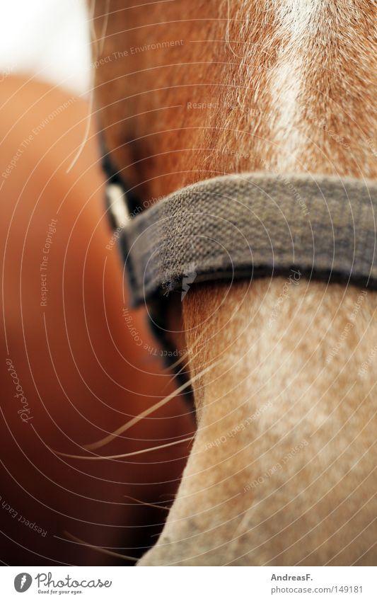 Ruhig Brauner! Tier braun Pferd Fell Landwirtschaft Weide Geschirr Bart Säugetier Reitsport Reiten Barthaare Tierhaltung Viehhaltung Pferdekopf