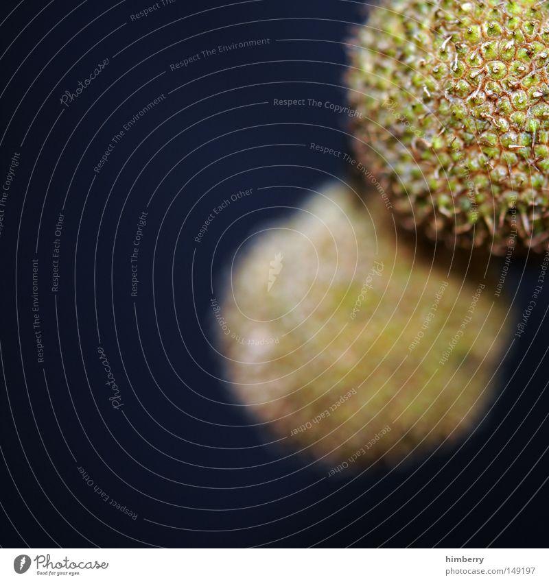 wohl platanensamen Herbst Baum Natur Vergänglichkeit Frucht Hülle Samen Makroaufnahme Nahaufnahme kommen