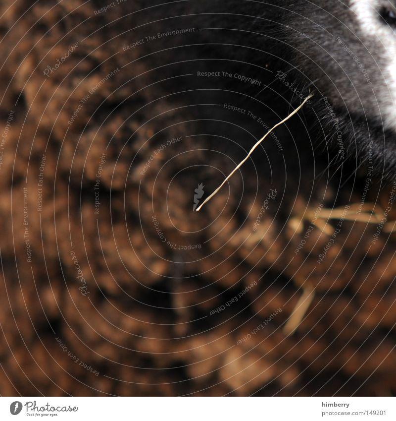 verbockt Tier Nase Fell Zoo Landwirtschaft Halm Säugetier ökologisch Schnauze Biologische Landwirtschaft Trinkhalm Tierzucht Ziegen Viehzucht Nasenloch