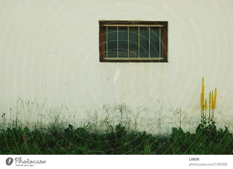 König an der Wand Königskerze Blume gelb Fenster weiß Gras Natur Haus Hausmauer Mauer Geborgenheit Umweltschutz dreckig schmuddelig Wegrand Bauernhof Putz