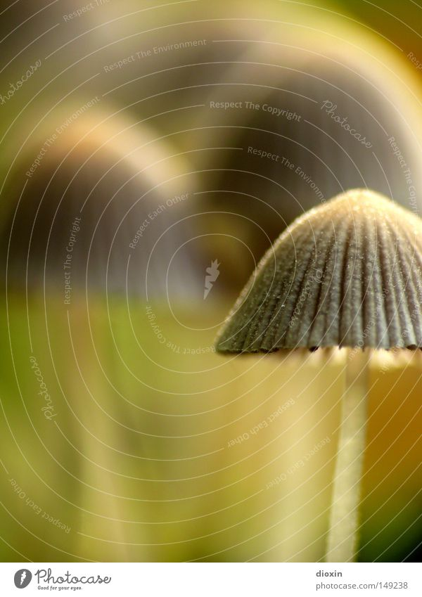 Gesäter Tintling (Coprinus disseminatus) #2 Natur Umwelt Herbst klein Park mehrere Lebewesen Falte Stengel Pilz Anhäufung Waldboden Lamelle Pilzhut Sporen Samen