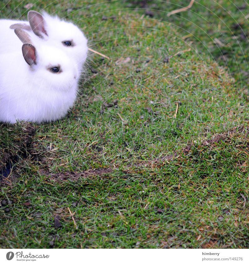 angsthasen weiß Frühling Tierpaar paarweise niedlich Rasen Fell Haustier Säugetier Hase & Kaninchen friedlich Osterhase Angsthase Zwergkaninchen