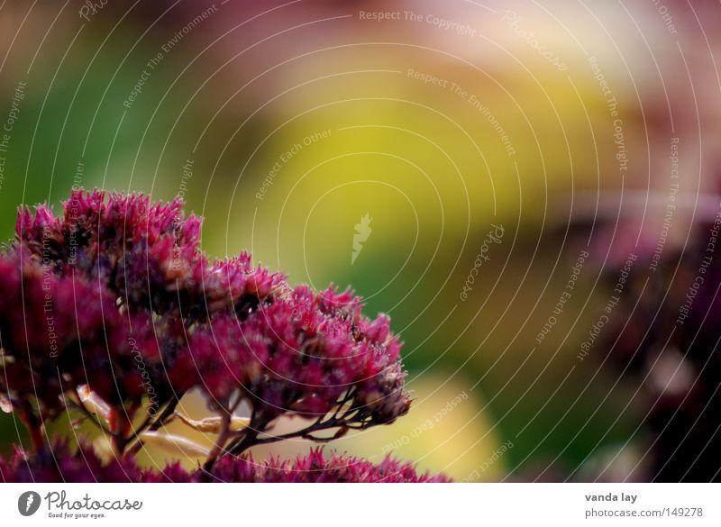 Herbstlich Pflanze Natur Hintergrundbild Blüte Blühend schön weich mehrere Blume Oktober September Jahreszeiten November Unschärfe rot Stauden Sommer viele