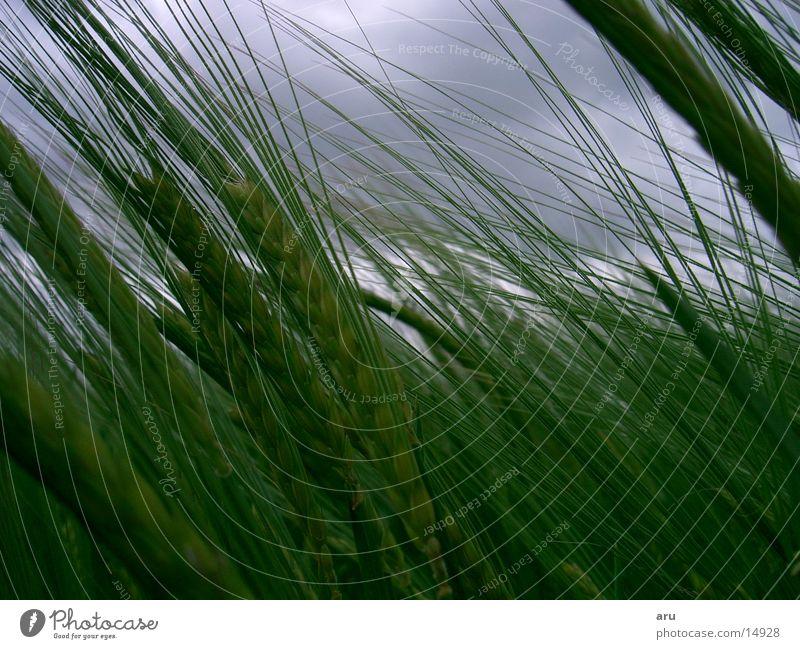 Die Ruhe vor dem Sturm grün Wolken Feld Wind Gewitter Biegung Ähren