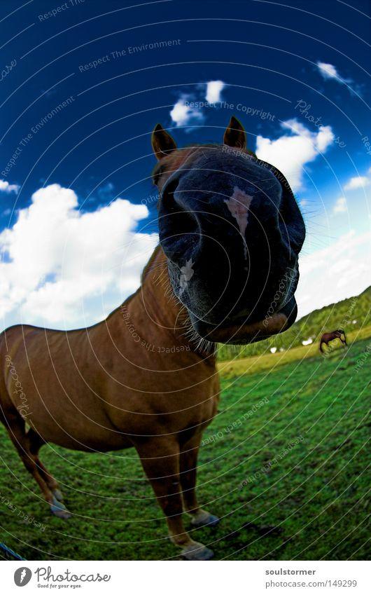 Das ist Tom... Pferd Island Ponys Wiese Isländer Weide Fressen Himmel Gras grün Wolken Fischauge Weitwinkel Ferne Natur Tierpaar Hass schwarz braun Sommer 2