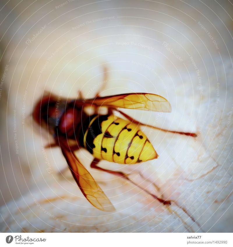 Hornisse... Natur Tier Wildtier Flügel Hornissen Wespen vespa crabro Insekt Insektenstich 1 krabbeln braun gelb Umwelt Umweltschutz nagen Sammlung raspeln Holz