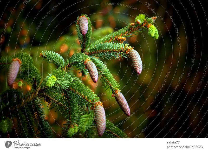 Zapfen(st)reich Umwelt Natur Pflanze Frühling Sommer Baum Tonabnehmer Zweige u. Äste Fichte Wald oben braun grün ruhig gleich Hoffnung Wachstum Samen Frucht