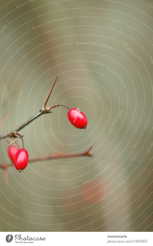 red dots Umwelt Natur Pflanze Herbst Winter Sträucher Blatt Grünpflanze Wildpflanze Hagebutten alt dünn authentisch einfach kalt natürlich rund Spitze stachelig