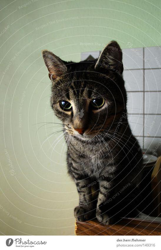 pelle schmidtchen Katze fließen niedlich Fell Pfote süß Tier Hauskatze