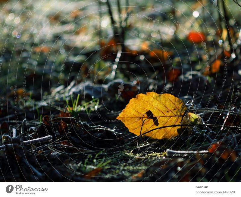 Novemberlicht Natur schön Senior Blatt gelb Wald Herbst Park Eis gold Erde frisch Frost Wandel & Veränderung Vergänglichkeit Herbstlaub