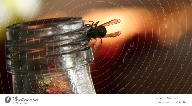 ich pups dir ins gesicht ey Sommer Wärme Fliege sitzen Insekt Biene Langeweile kleben Stachel Saft Flaschenhals Saftflasche stechen Verschlussdeckel Wespen Russland