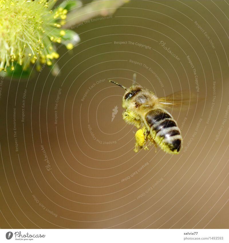 Zielstrebig Umwelt Natur Pflanze Tier Frühling Blüte Weidenkätzchen Wildtier Biene Flügel Honigbiene 1 Blühend Duft fliegen Gesundheit braun gelb fleißig