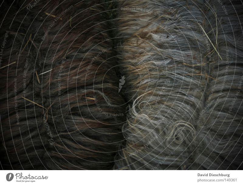 Schwarzes Schaf integriert Wolle Fell Baumwolle Wärme Tier Lebewesen Wiederkäuer Haare & Frisuren Ziegen Arbeit & Erwerbstätigkeit schwarz weiß braun Kamm