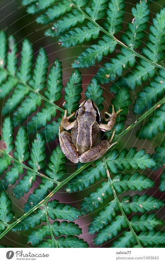 Geduldig Natur Pflanze Tier Sommer Farn Wald Wildtier Frosch Amphibie Lurch Grasfrosch Moorfrosch 1 sitzen warten oben braun grün achtsam Wachsamkeit geduldig
