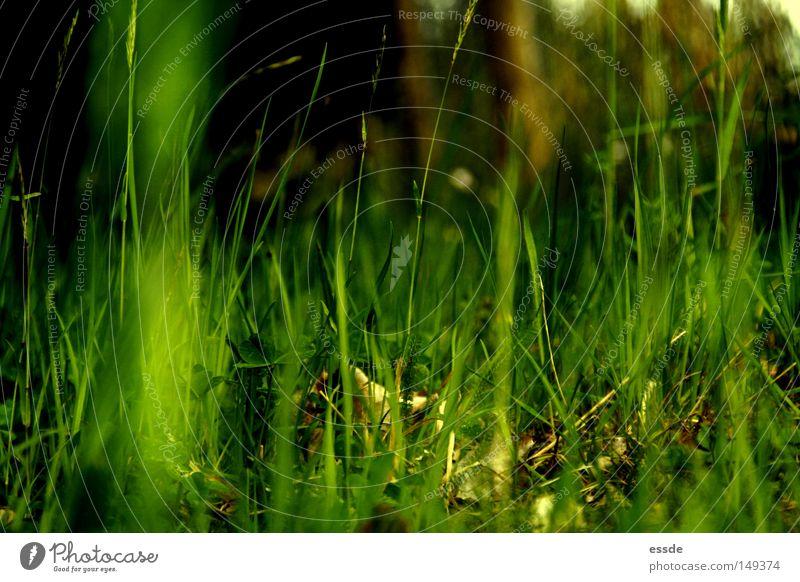 frisch, frech, grasgrün. Natur Pflanze Farbe ruhig Erholung Umwelt Wiese Leben Gras Frühling klein wild natürlich groß Wachstum