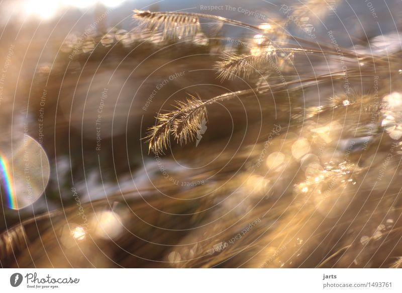 711 Pflanze Sonnenlicht Herbst Winter Schönes Wetter Gras Sträucher verblüht außergewöhnlich glänzend hell natürlich braun Natur Farbfoto Gedeckte Farben