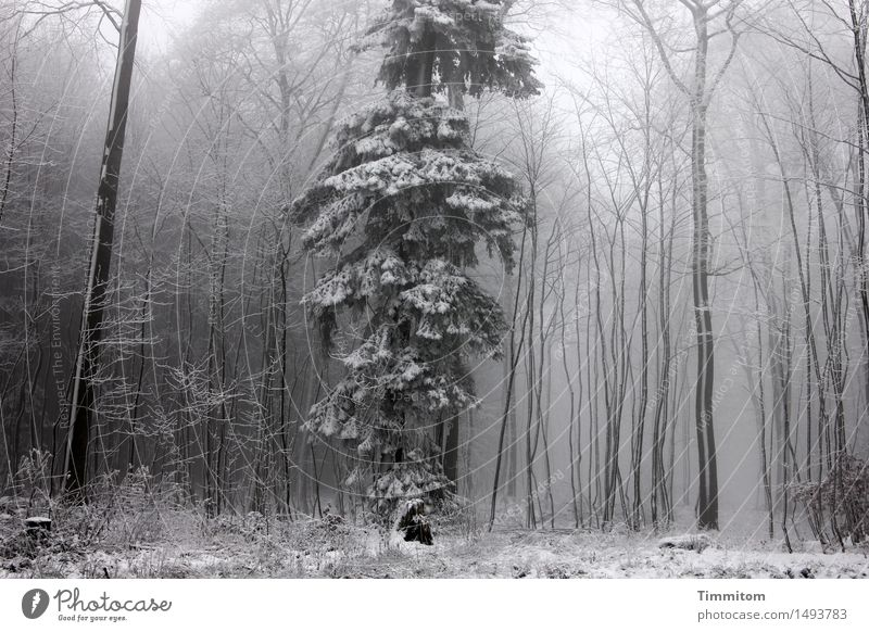 Merkwürden im Winterpelz... Natur Nebel Schnee Baum Wald stehen kalt grau weiß Einzelgänger Fichte Baumstamm kahl Farbfoto Gedeckte Farben Außenaufnahme