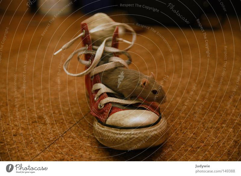 die Maus im Schuh Mongolische Rennmaus Schuhe Chucks Nagetiere Nase Knopfauge Schwanz Ratte süß niedlich grau Ohr rot Schuhbänder Säugetier Bekleidung