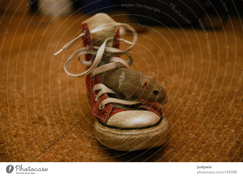 die Maus im Schuh rot grau Schuhe Nase Bekleidung süß Ohr niedlich Chucks Säugetier Schwanz Nagetiere Ratte Schuhbänder Knopfauge
