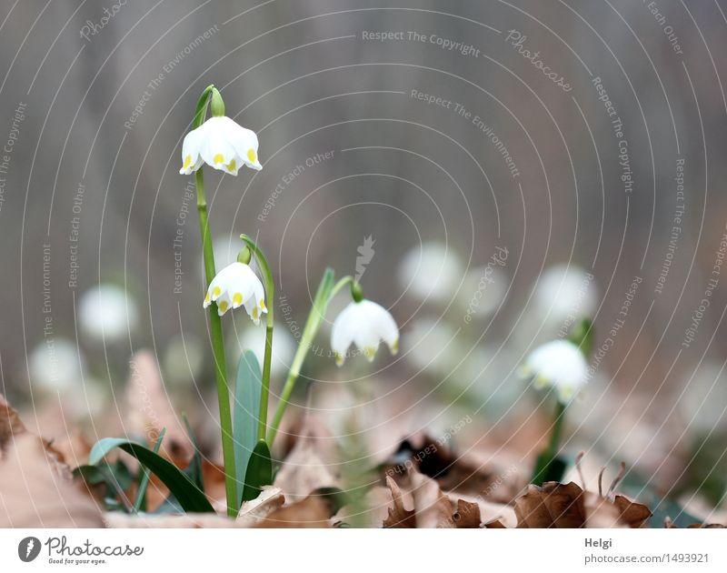 noch mehr Frühling... Natur Pflanze grün schön weiß Blume Blatt Wald Umwelt Leben Blüte natürlich klein grau außergewöhnlich