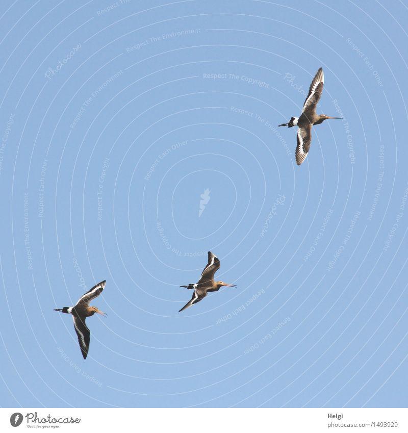 blau machen | auf und davon... Umwelt Natur Tier Wolkenloser Himmel Sommer Schönes Wetter Vogel Schnepfenvögel 3 Tiergruppe fliegen ästhetisch außergewöhnlich