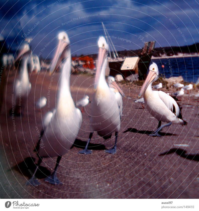 Schreibgerät Pelikan Füllfederhalter Wildvogel Fischereiwirtschaft Tinte Vogel Hafen