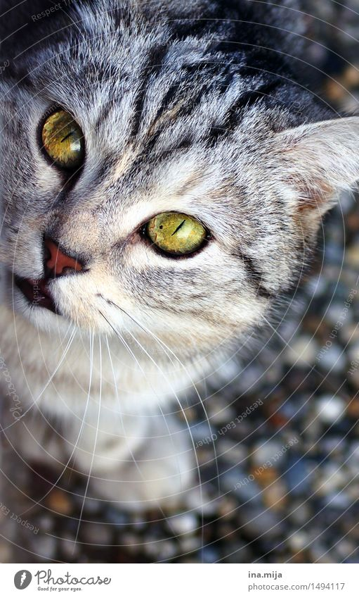 hypnotisierend Tier Haustier Katze 1 Blick tierisch Auge Katzenauge Katzenfreund Katzenkopf grün Augenfarbe Fellfarbe Fellpflege weich Misstrauen Lebewesen