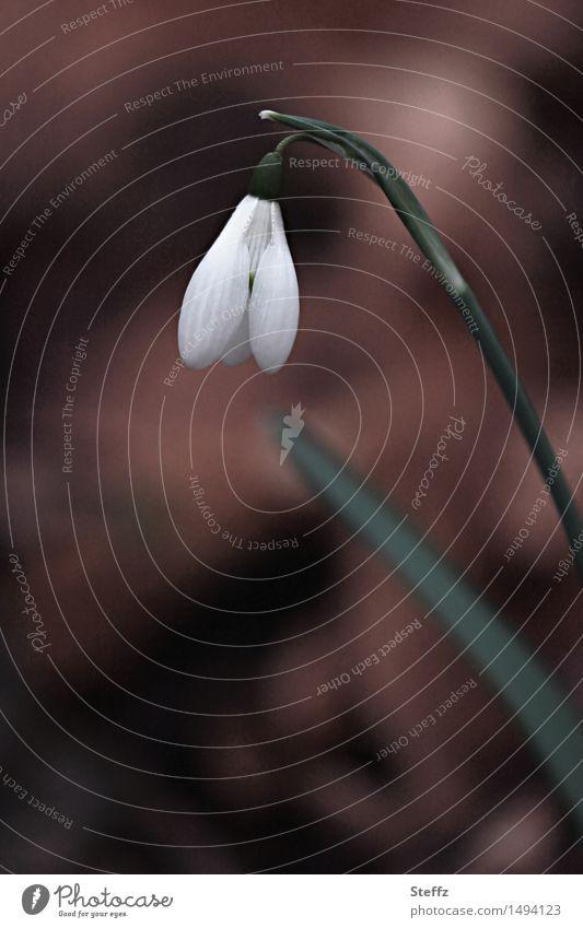 Snowdrop Natur Pflanze Frühling Blume Wildpflanze Schneeglöckchen Waldblume Frühlingsblume Frühblüher Garten Park Blühend klein schön braun weiß