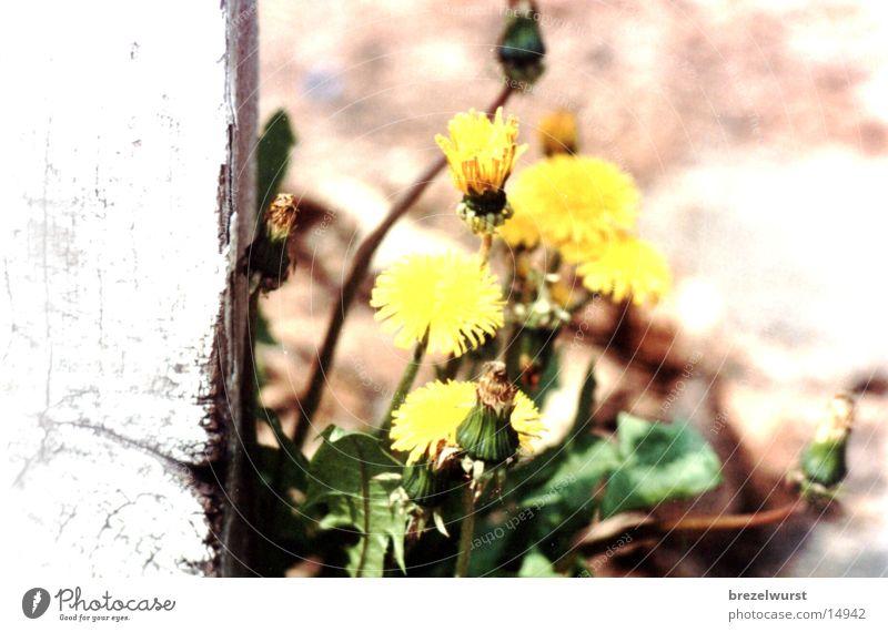 Löwenzahn Blume gelb Sträucher Unkraut