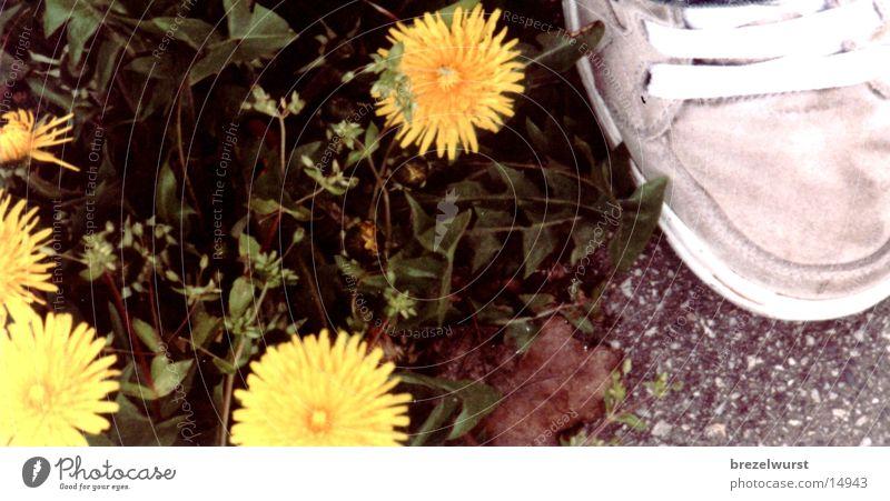 Löwenzahn am Schuh Blume grün gelb Straße grau Schuhe Turnschuh