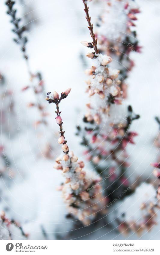Zart II Natur Tier Winter Schnee Pflanze Blatt Blüte Duft elegant schön kalt nachhaltig natürlich positiv rebellisch rosa weiß Gefühle Verliebtheit Romantik