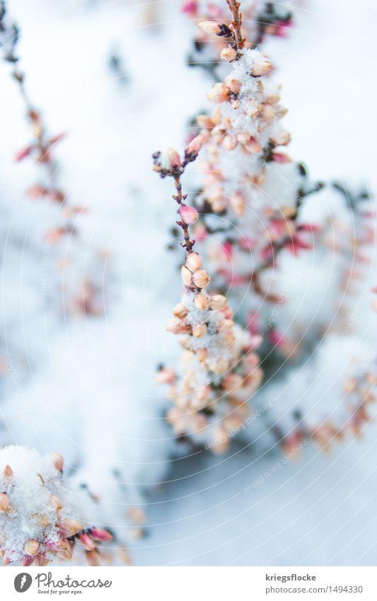 Zart Natur Tier Winter Schnee Pflanze Blatt Blüte Duft elegant schön kalt nachhaltig natürlich positiv rebellisch rosa weiß Gefühle Verliebtheit Romantik sanft