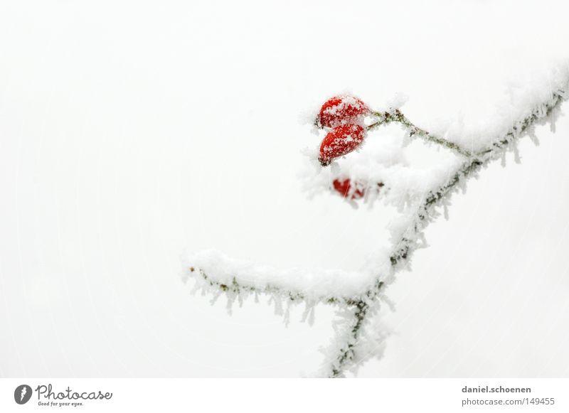 es ist soweit !! Raureif Eis Schnee Winter kalt Frost Hagebutten Rose weiß hell Hintergrundbild Ast Natur Jahreszeiten Frucht Hundsrose