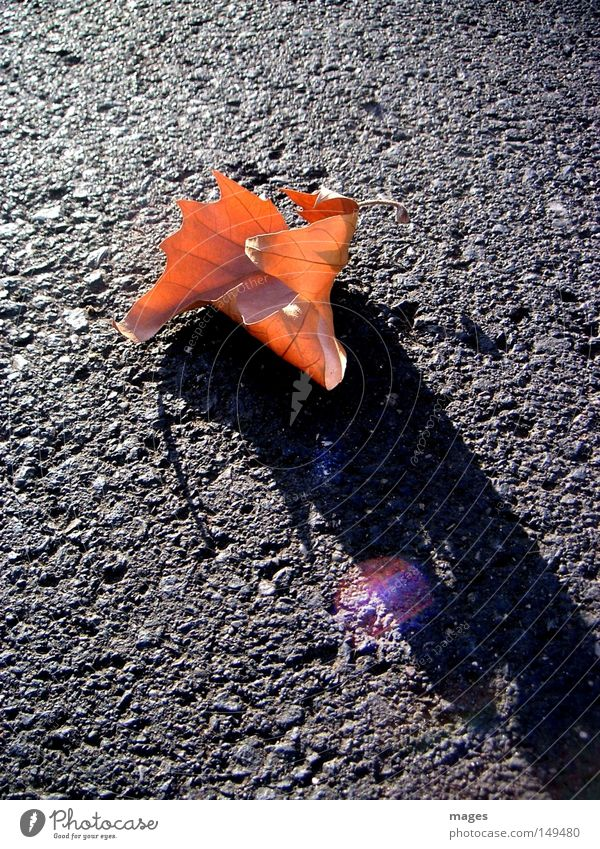 Blatt Herbst braun Abend Straße Asphalt Teer Reflexion & Spiegelung Schatten Licht welk Einsamkeit Makroaufnahme Nahaufnahme Spätherbst