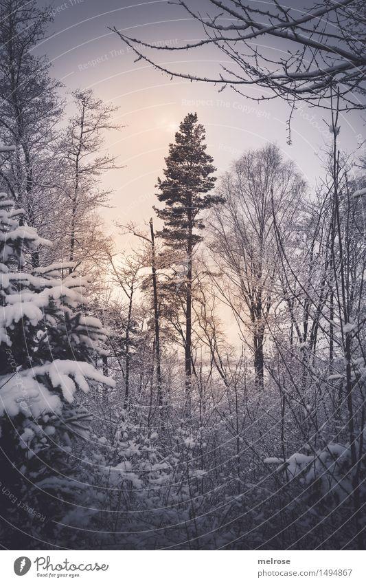 zart beleuchtet Natur Landschaft Sonne Winter Eis Frost Schnee Schneefall Baum Baumstamm Baumkrone Zweige u. Äste Wald Gegenlicht Lichtspiel Lichtschein
