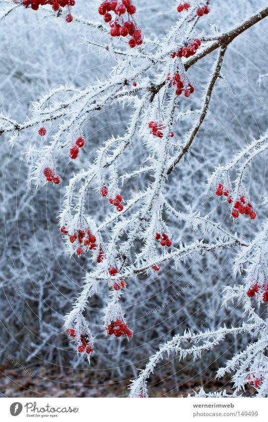 Eisige Schönheit Raureif Winter Kristallstrukturen Frucht Sträucher kalt ruhig Frost Eiskristall schön Schnee