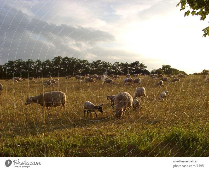 Schafe Sonne Herbst Wiese