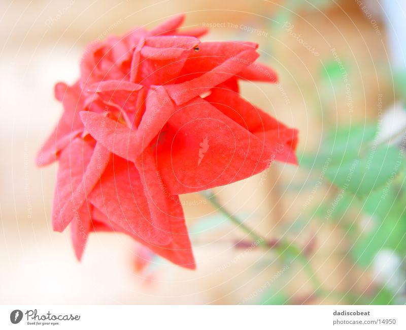 Rote Rosenblüte Blüte Blume rot