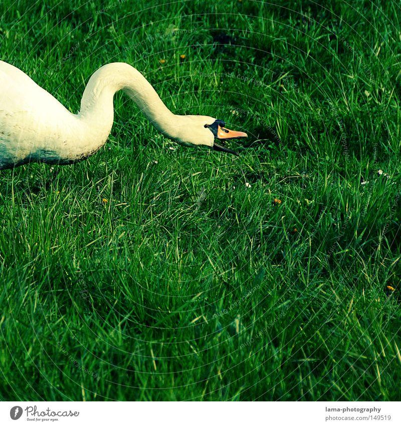stromlinienförmige Futtersuche Schwan Höckerschwan Ente Gans laufen watscheln Wiese Gras elegant edel weiß herausstechend Tier Schnabel Fressen schnappen beißen