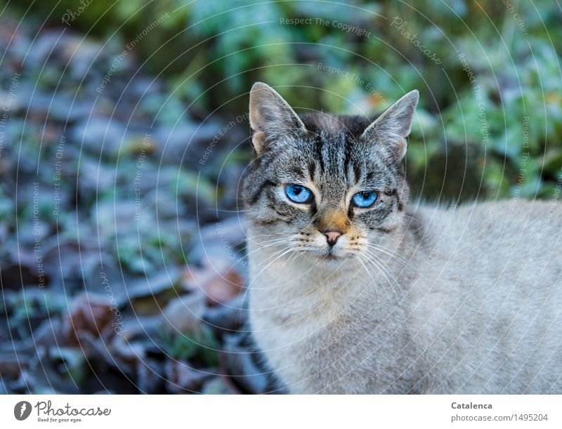 Blaublick Katze Natur Pflanze blau weiß Tier Winter schwarz Wärme Auge Gras grau Garten braun springen orange