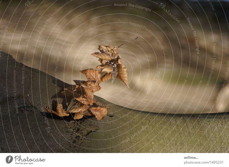 loslassen, um dranzubleiben. Natur Blatt braun Wachstum Vergänglichkeit Baumstamm Abenddämmerung sanft Baumrinde Trieb welk Überleben Baumschössling Erlen