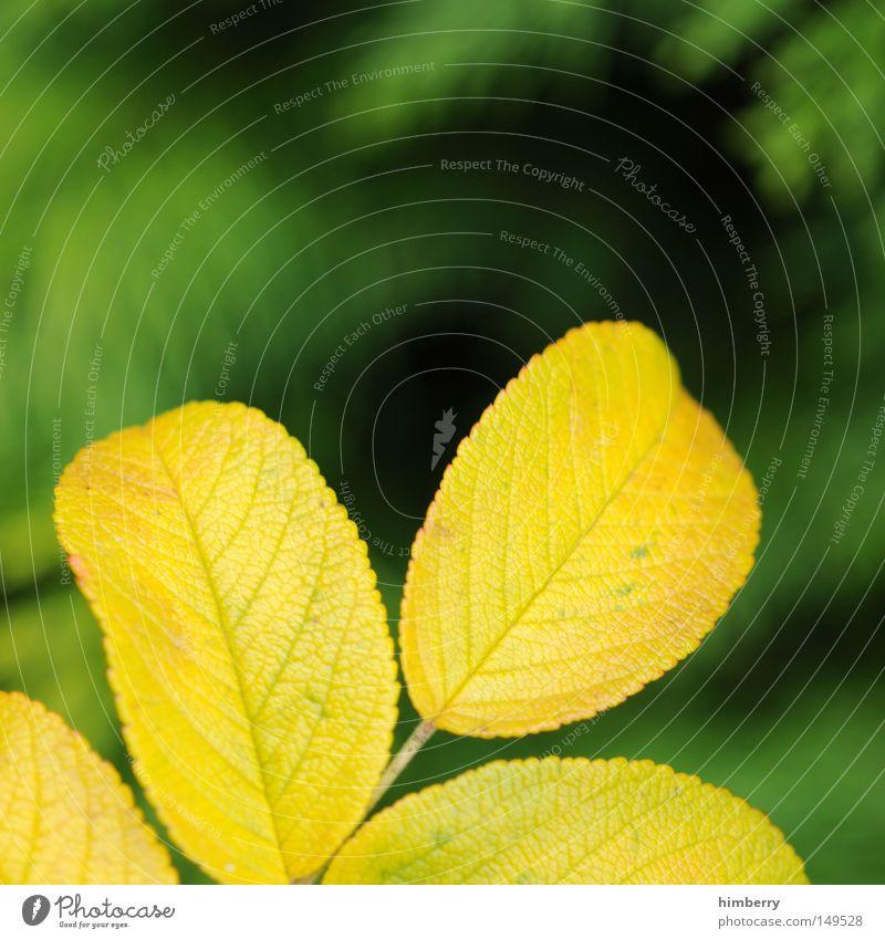 gelbstich Herbst Blatt Jahreszeiten Herbstfärbung grün Baum gold Natur Strukturen & Formen Hintergrundbild Park Makroaufnahme Nahaufnahme