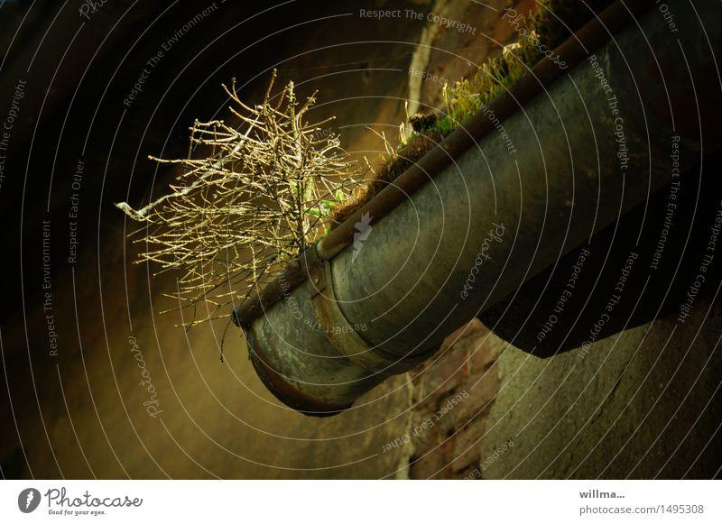 mein hübscher kleiner dachgarten Baum dunkel verfallen kahl Wildpflanze Dachrinne Regenrinne Naturwuchs