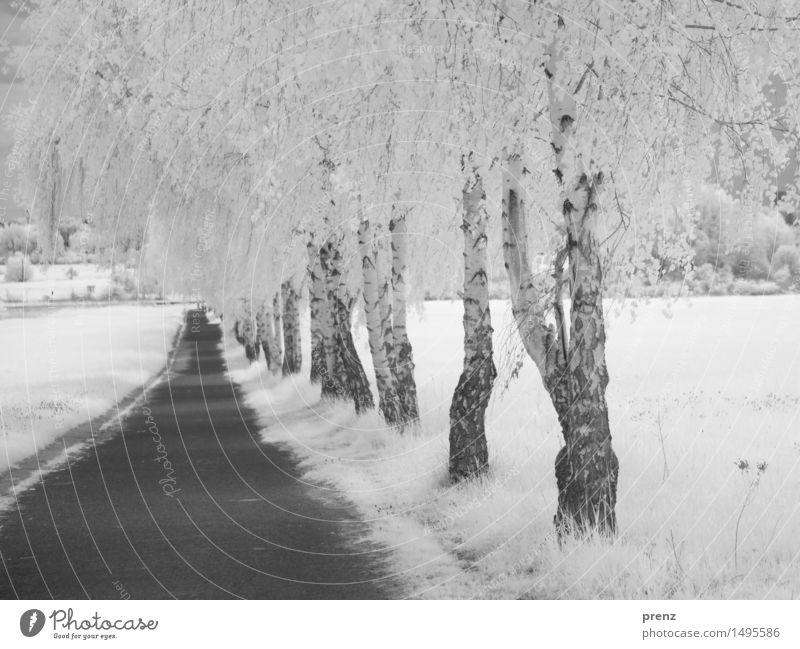 Birkenweg Umwelt Natur Landschaft Pflanze Sommer Wetter Schönes Wetter Park Feld schwarz weiß Infrarotaufnahme Wege & Pfade Asphalt Schwarzweißfoto