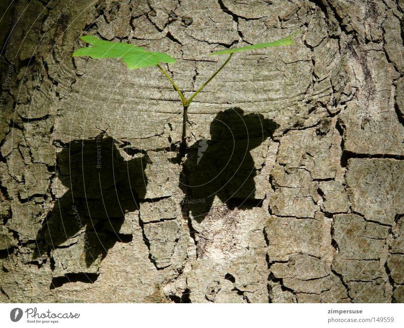 Zwilling Ahorn Blatt Zweig Baumrinde Baumstamm Schatten 2 grün Bergahorn Jungpflanze Seitentrieb Doppelbelichtung zweifach twins geblättert