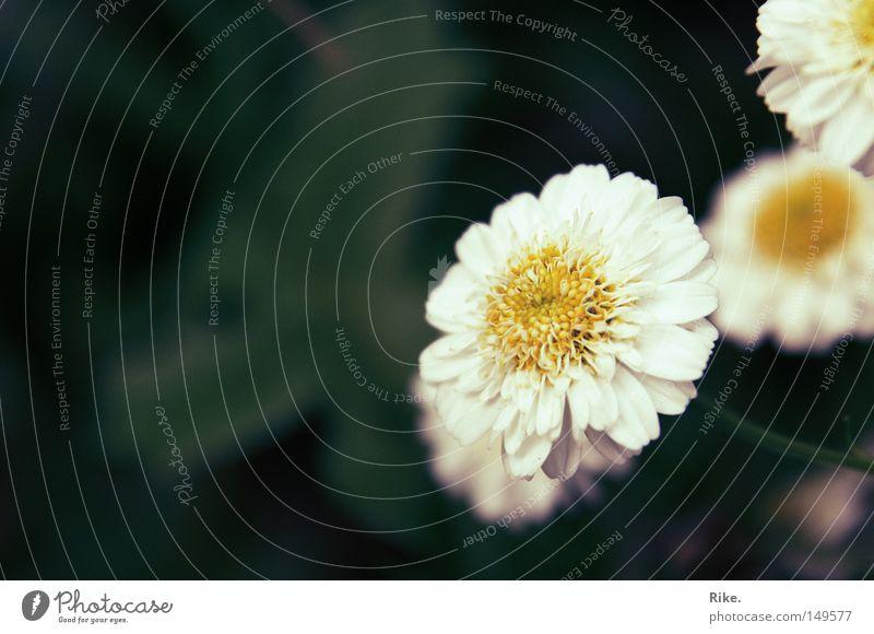 Blümchen. Natur schön Blume grün Pflanze Sommer Wiese Blüte Frühling Umwelt frisch Romantik Gänseblümchen Beet Margerite