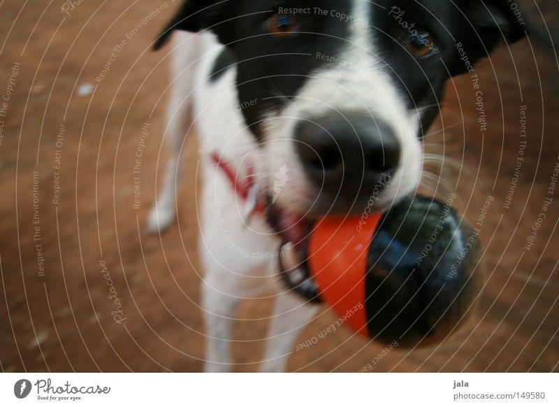 spieltrieb rot Freude schwarz Auge Spielen Hund Bewegung Sand braun Erde gehen Boden Ball werfen Säugetier